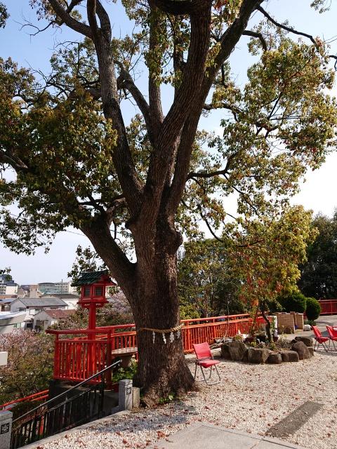 神戸水天宮の御神木。